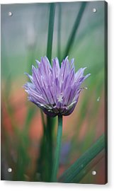 Chive Flower  Acrylic Print by Lisa Gabrius