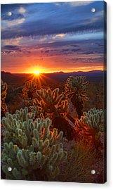 Cholla Sunset  Acrylic Print