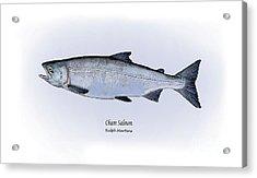 Chum Salmon Acrylic Print by Ralph Martens