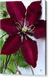 Clematis Acrylic Print by Janice Drew