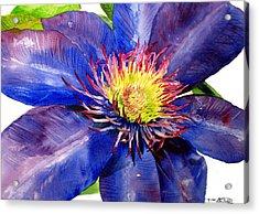 Clematis Acrylic Print by Tina Storey