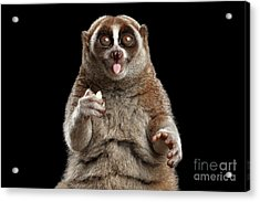 Close-up Lemur Slow Loris Isolated Black Background Acrylic Print