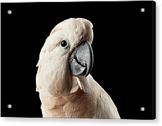 Closeup Head Of Beautiful Moluccan Cockatoo, Pink Salmon-crested Parrot Isolated On Black Background Acrylic Print