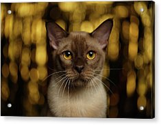 Closeup Portrait Burmese Cat On Happy New Year Background Acrylic Print