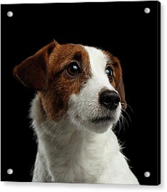 Closeup Portrait Of Jack Russell Terrier Dog On Black Acrylic Print by Sergey Taran