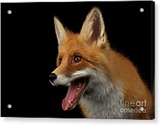 Closeup Portrait Of Smiled Red Fox Isolated On Black  Acrylic Print