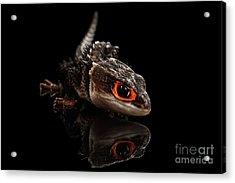 Closeup Red-eyed Crocodile Skink, Tribolonotus Gracilis, Isolated On Black Background Acrylic Print by Sergey Taran