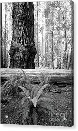 Coastal Redwoods  Acrylic Print