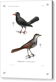 Acrylic Print featuring the drawing Collared Palm Thrush And Chestnut-fronted Helmetshrike by J D L Franz Wagner
