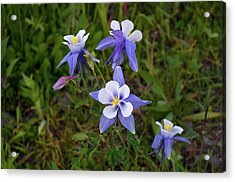 Acrylic Print featuring the photograph Colorado Columbine by Steve Stuller