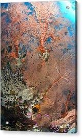 Colourful Sea Fan With Crinoid, Papua Acrylic Print by Steve Jones