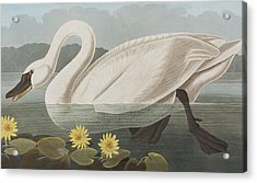 Common American Swan Acrylic Print by John James Audubon