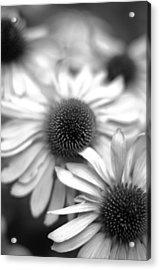 Cone Flower 7 Acrylic Print