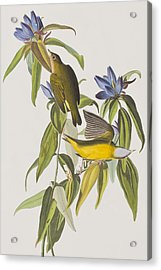 Connecticut Warbler Acrylic Print by John James Audubon