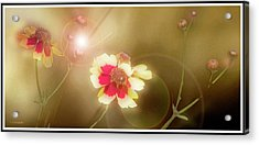 Coreopsis Flowers And Buds Acrylic Print