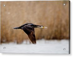 Cormorant In Flight Acrylic Print