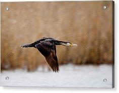Cormorant In Flight Acrylic Print