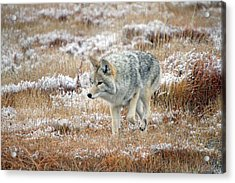 Coyote  In Yellowstone National Park Acrylic Print by Pierre Leclerc Photography