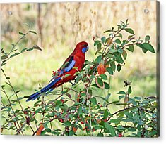 Crimson Rosella 2 - Canberra - Australia Acrylic Print by Steven Ralser