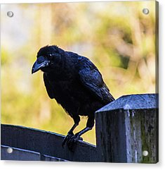 Acrylic Print featuring the photograph Crow Perched by Jonny D