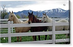 Acrylic Print featuring the photograph Curious Yearlings by Juls Adams
