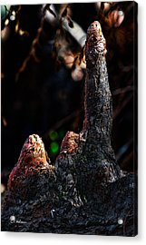 Cypress Knees Acrylic Print by Christopher Holmes