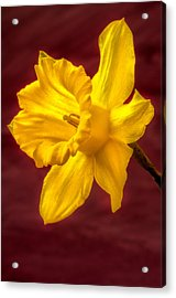 Daffodil Glow Acrylic Print