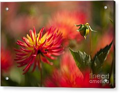 Dahlia Firestorm Acrylic Print by Mike Reid