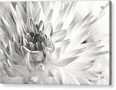 Dahlia Acrylic Print by Nailia Schwarz
