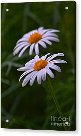 Daisies Acrylic Print by Tim Good