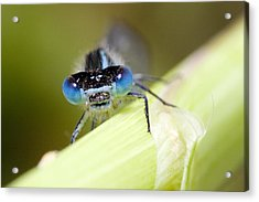 Damselfly Acrylic Print by Andre Goncalves