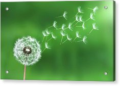 Acrylic Print featuring the photograph Dandelion Seeds by Bess Hamiti
