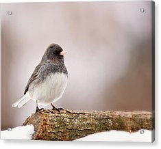 Dark-eyed Junco Acrylic Print