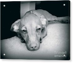 Day Dreaming Doxie Acrylic Print