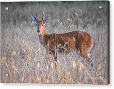 Deer Acrylic Print by Lisa Plymell