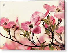 Acrylic Print featuring the photograph Delicate Dogwood by Jessica Jenney
