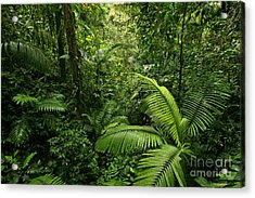 Dense Tropical Rain Forest Acrylic Print by Matt Tilghman