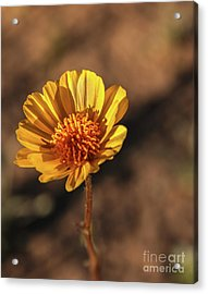 Acrylic Print featuring the photograph Desert Sunflower by Robert Bales