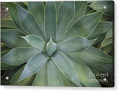 Detail Of An Agave Attenuata Acrylic Print