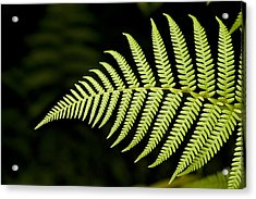 Detail Of Asian Rain Forest Ferns Acrylic Print by Tim Laman