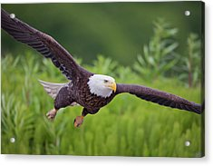 Diving For Dinner Acrylic Print by Tim Grams