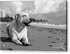 Dog - Monochrome 5  Acrylic Print