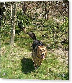#dogs #gsd #germanshepherd Acrylic Print