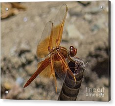 Dragonfly 18 Acrylic Print