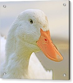 Duck Acrylic Print by Glenn Vidal