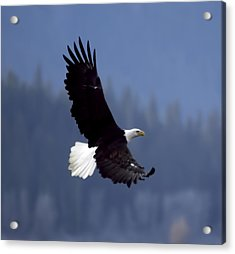Eagle In Flight Acrylic Print by Clarence Alford