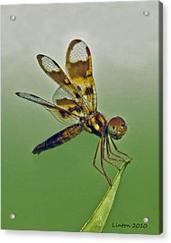 Eastern Amberwing Dragonfly Acrylic Print by Larry Linton