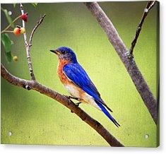 Eastern Bluebird Acrylic Print by Al  Mueller