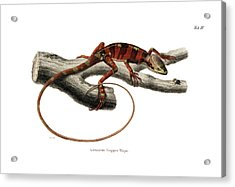 Acrylic Print featuring the drawing Eastern Casquehead Iguana, Laemanctus Longipes by Carl Wilhelm Pohlke