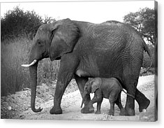 Elephant Walk Black And White  Acrylic Print
